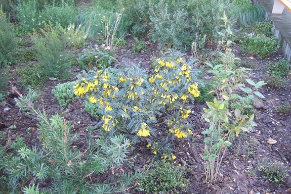 Sophora 'Sun King' Dscf8675
