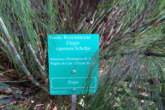 Elegia capensis - élégie du Cap Dscf8688
