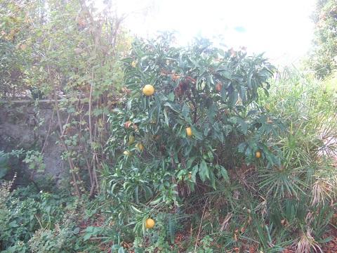Citrus reticulata subsp. unshiu - mandarinier satsuma - Page 2 Dscf8699