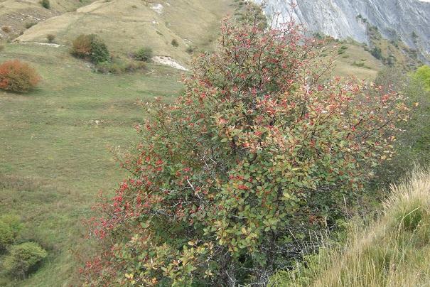 Sorbus aria - alisier blanc Dscf8726