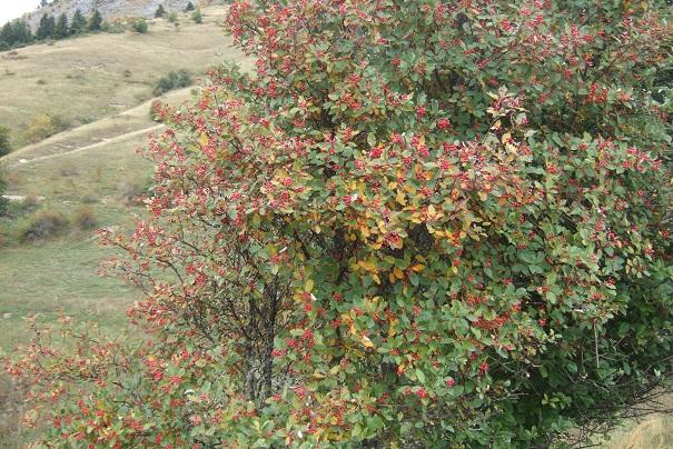 Sorbus aria - alisier blanc Dscf8727