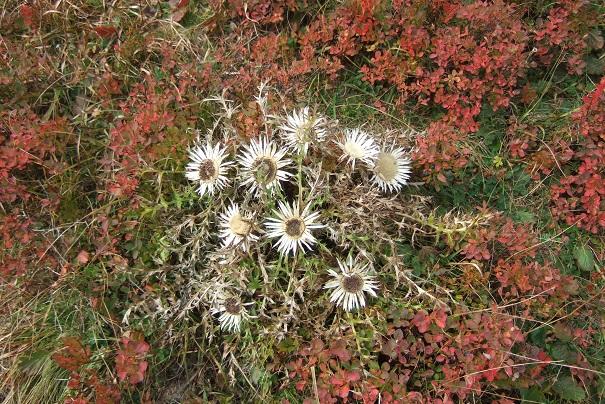 Carlina acaulis subsp. caulescens - carline acaule Dscf8731