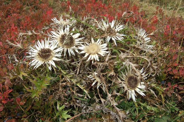 Carlina acaulis subsp. caulescens - carline acaule Dscf8732