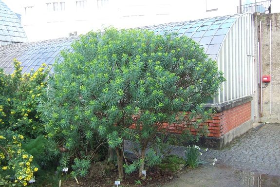 Euphorbia dendroides - euphorbe arborescente - Page 2 Dscf8753