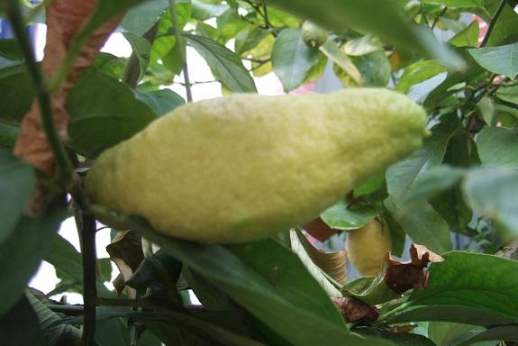 Citrus limon - citronnier des quatre saisons - Page 5 Dscf8762