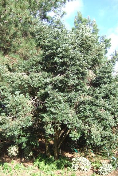 Cephalotaxus harringtonii - if du Japon Dscf8784