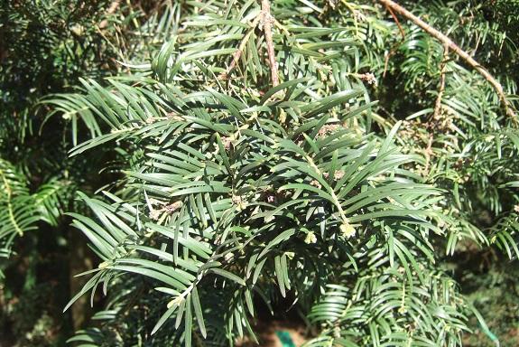 Cephalotaxus harringtonii - if du Japon Dscf8785