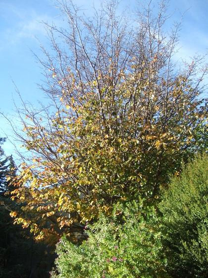 Parrotia persica - arbre de fer - Page 2 Dscf8790