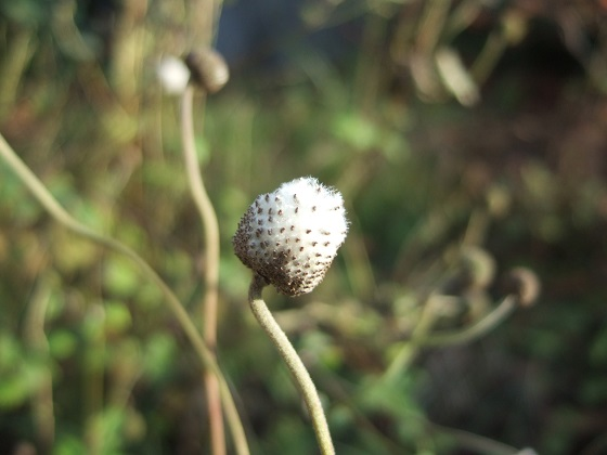 Anemone hupehensis - anémone de Chine ; Anemone hupehensis var. japonica - anémone du Japon - Page 2 Dscf8797