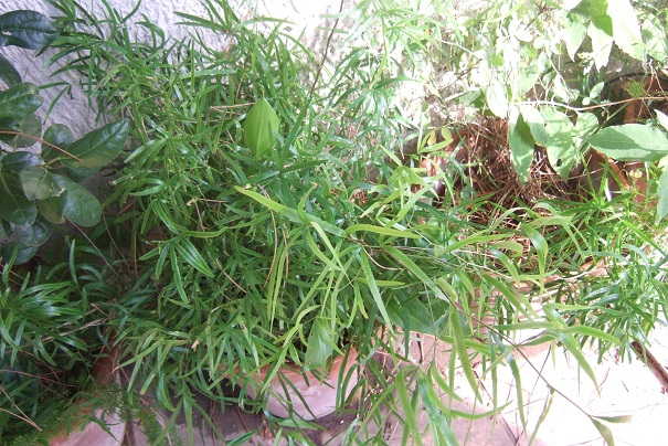 Asparagus falcatus  Dscf8818