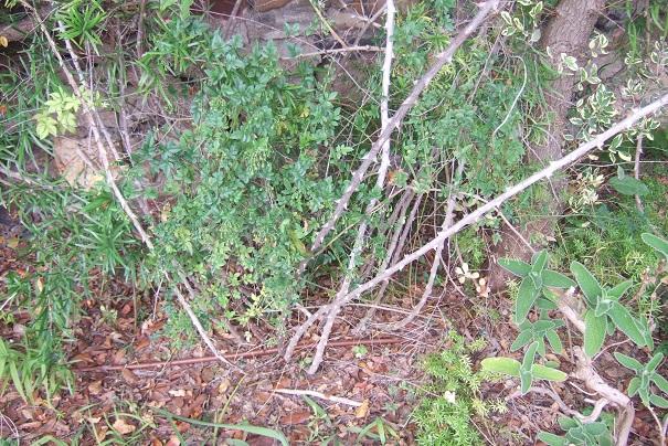 Asparagus falcatus  Dscf8821
