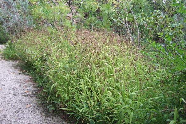Chasmanthium latifolium Dscf8822