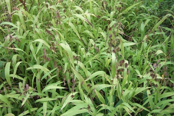 Chasmanthium latifolium Dscf8823