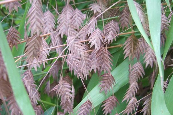 Chasmanthium latifolium Dscf8825