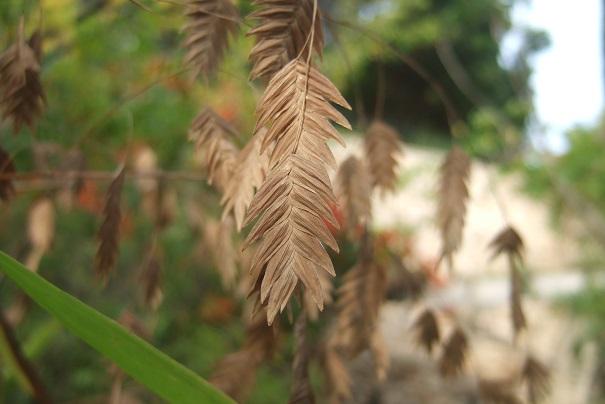 Chasmanthium latifolium Dscf8826