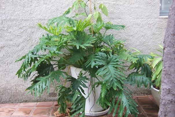 Philodendron bipinnatifidum - selloum - Page 3 Dscf8851
