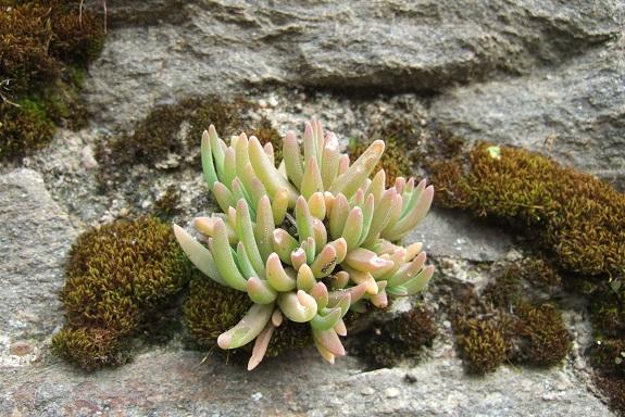 Delosperma cooperi et cultivars - pourpier de Cooper Dscf8860