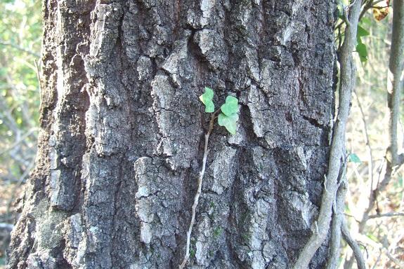 Devinette écorces résolue: abricotier, chêne pubescent et olivier Dscf8879