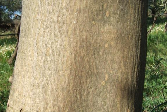 Devinette écorces résolue: abricotier, chêne pubescent et olivier Dscf8880