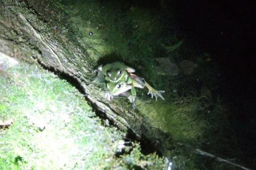 rainettes et autres grenouilles - Page 9 Dscf8883