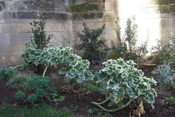 Brassica oleracea var. ramosa - choux Daubenton Dscf8895