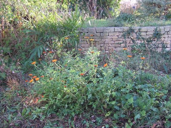 Tithonia rotundifolia - soleil du Mexique Dscf8898