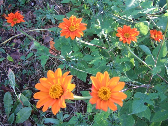 Tithonia rotundifolia - soleil du Mexique Dscf8899
