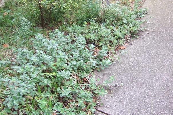 Vitex trifolia subsp. litoralis (= Vitex rotundifolia) Dscf8914