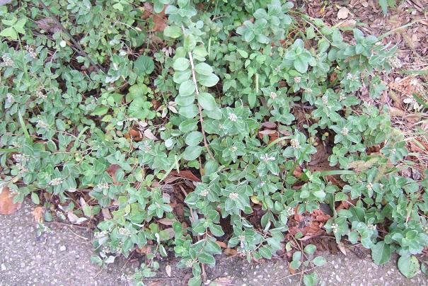 Vitex trifolia subsp. litoralis (= Vitex rotundifolia) Dscf8915