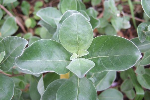 Vitex trifolia subsp. litoralis (= Vitex rotundifolia) Dscf8916