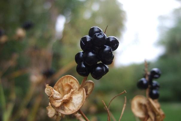 Belamcanda chinensis - fruit [devinette] Dscf8921