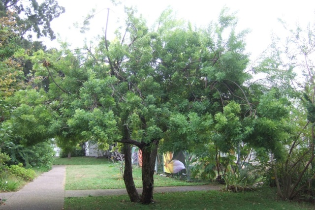 Schinus terebinthifolia - arbre aux baies roses Dscf8939