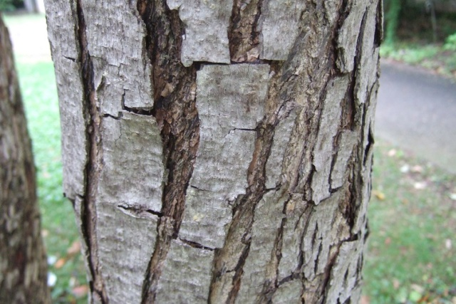 Schinus terebinthifolia - arbre aux baies roses Dscf8943