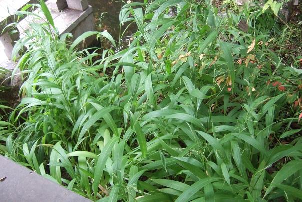 Setaria palmifolia - sétaire à feuilles de palmier - Page 2 Dscf8944