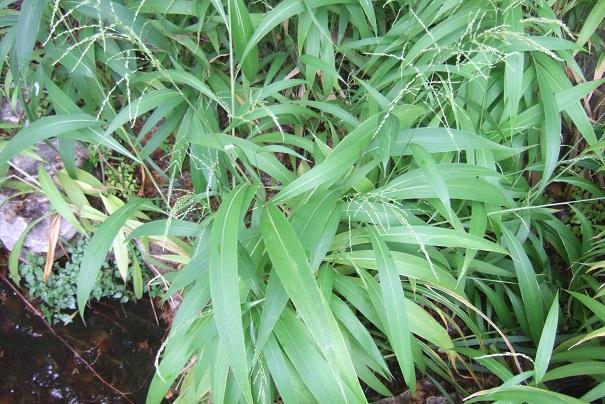 Setaria palmifolia - sétaire à feuilles de palmier - Page 2 Dscf8946