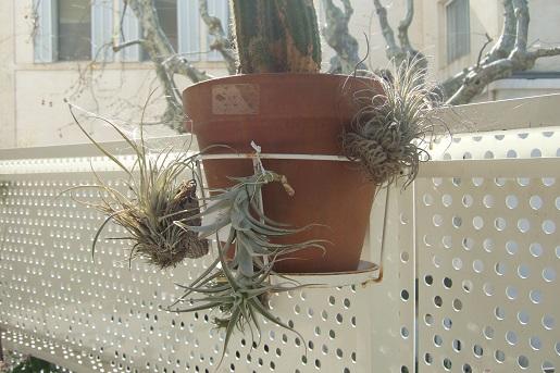 Support à épiphytes et broméliacées rustiques - Page 4 Dscf8960