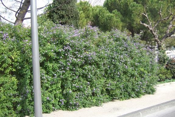 Solanum rantonnetii - Page 2 Dscf8972