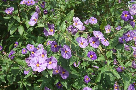 Solanum rantonnetii - Page 2 Dscf8974