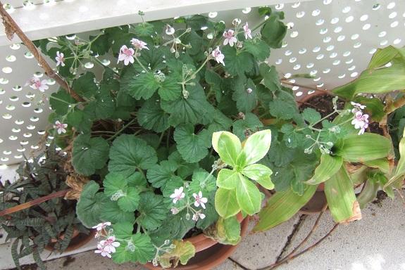 Erodium pelargoniflorum ≠ Erodium trifolium - discussion - Page 2 Dscf8978