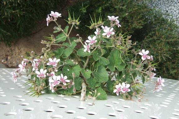 Erodium pelargoniflorum ≠ Erodium trifolium - discussion - Page 2 Dscf8979