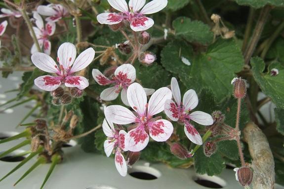 Erodium pelargoniflorum ≠ Erodium trifolium - discussion - Page 2 Dscf8981