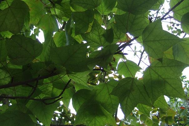 Liquidambar formosana - copalme de Chine Dscf9026