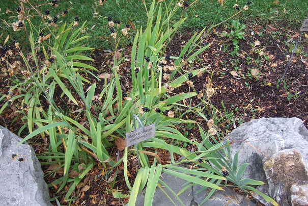 Iris domestica (= Belamcanda chinensis) - Page 3 Dscf9032