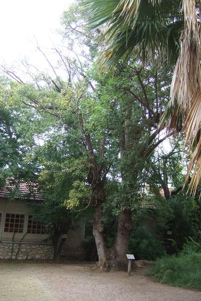 Phytolacca dioica - bel ombra Dscf9033