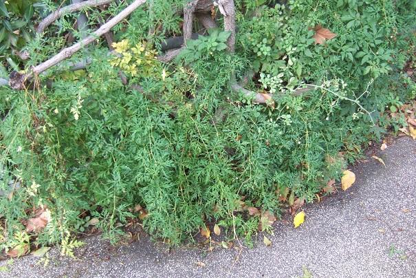 Ampelopsis aconitifolia Dscf9037