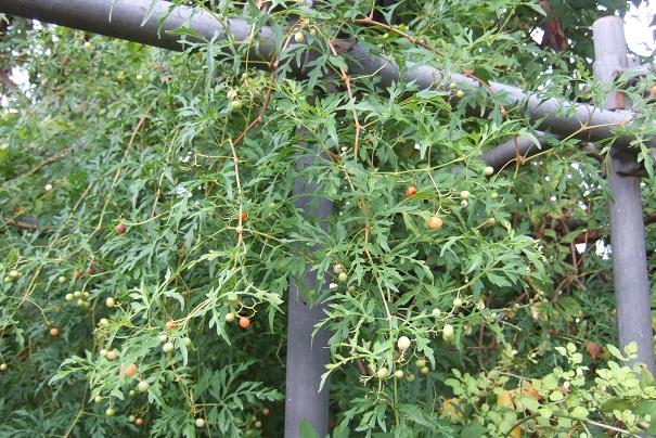 Ampelopsis aconitifolia Dscf9038