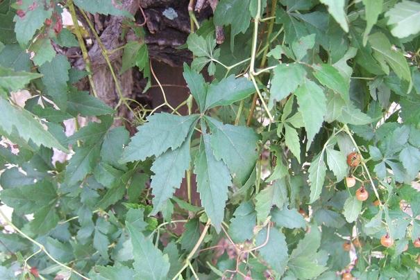 Ampelopsis aconitifolia Dscf9041
