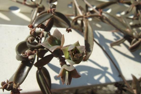 Bryophyllum beauverdii (= Kalanchoe beauverdii) Dscf9060