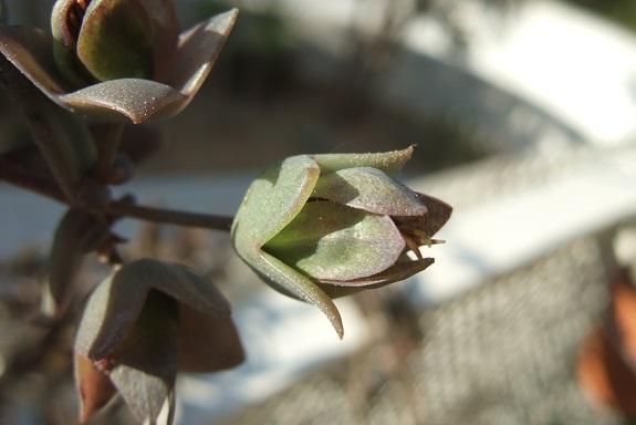 Bryophyllum beauverdii (= Kalanchoe beauverdii) Dscf9062