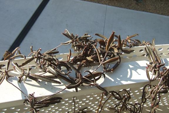Bryophyllum beauverdii (= Kalanchoe beauverdii) Dscf9063